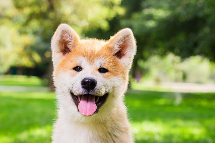 Pies rasy akita inu na tle zieleni z językiem na wierzchu, a także opis i charakter akity inu