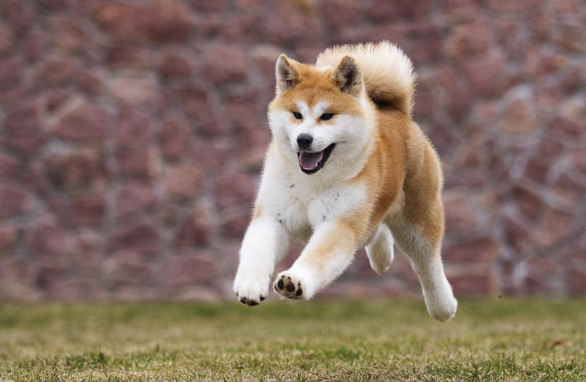Japoński pies rasy akita inu biegający podczas spaceru, a także charakter akity inu