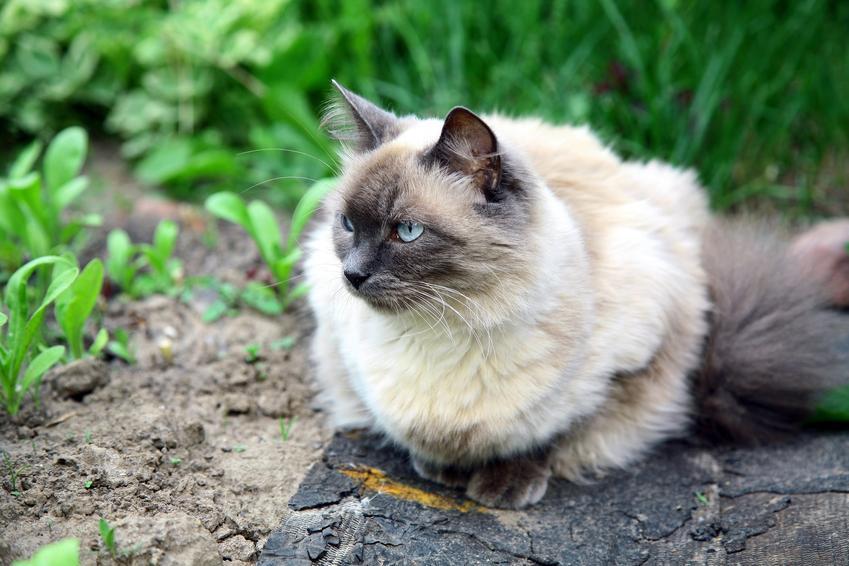 Kot balijski siedzący w ogrodzie na tle zieleni, a także jego charakter, hodowla i cena