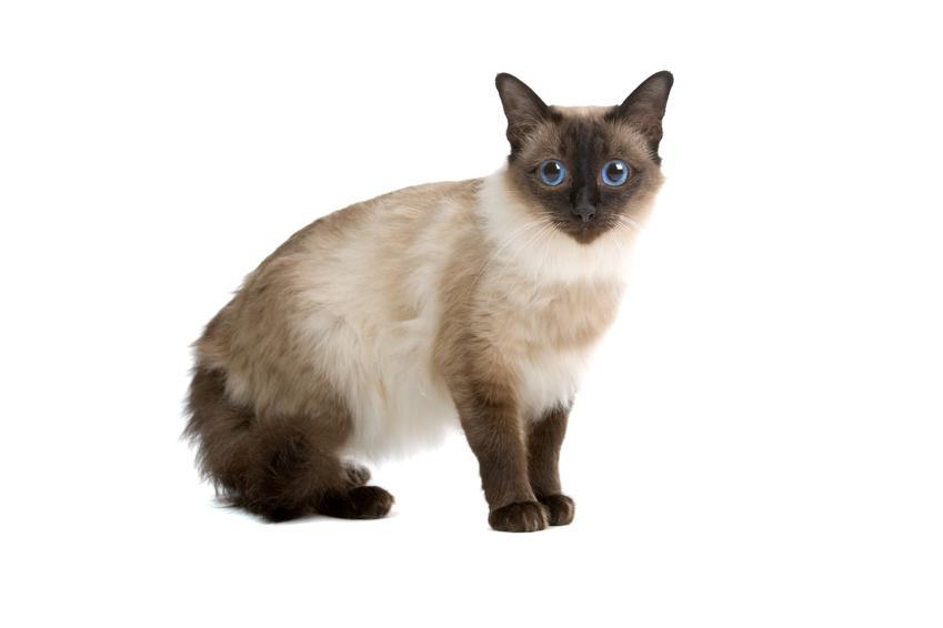 Kot balijski z profilu na białym tle oraz hodowla i cena kota balijskiego