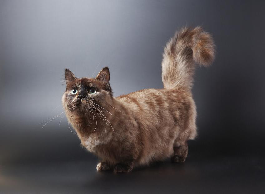 Kot munchkin na czarnym tle, a także jego charakter, cena, hodowla i usposobienie