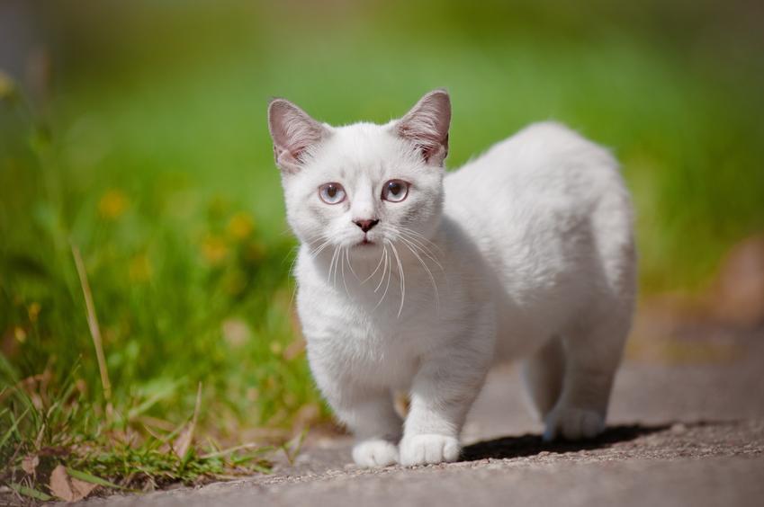 Kot munchkin biały podczas spaceru na tle zieleni, a także jego charakter i hodowla