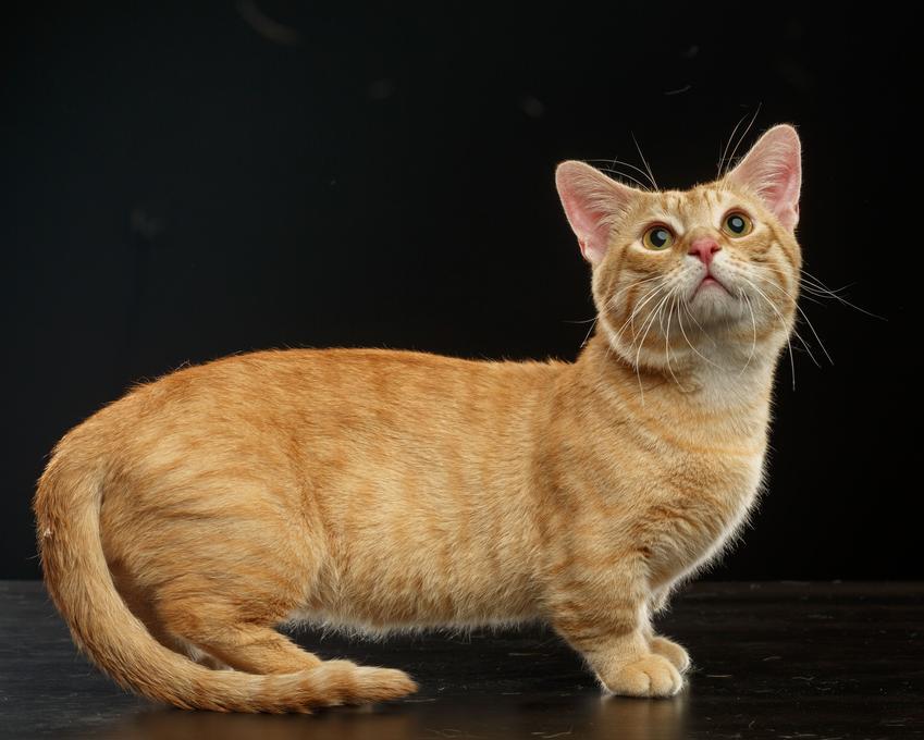 Kot munchkin na czarnym tle, a także kot z krótkimi łapkami, jego charakter i cena