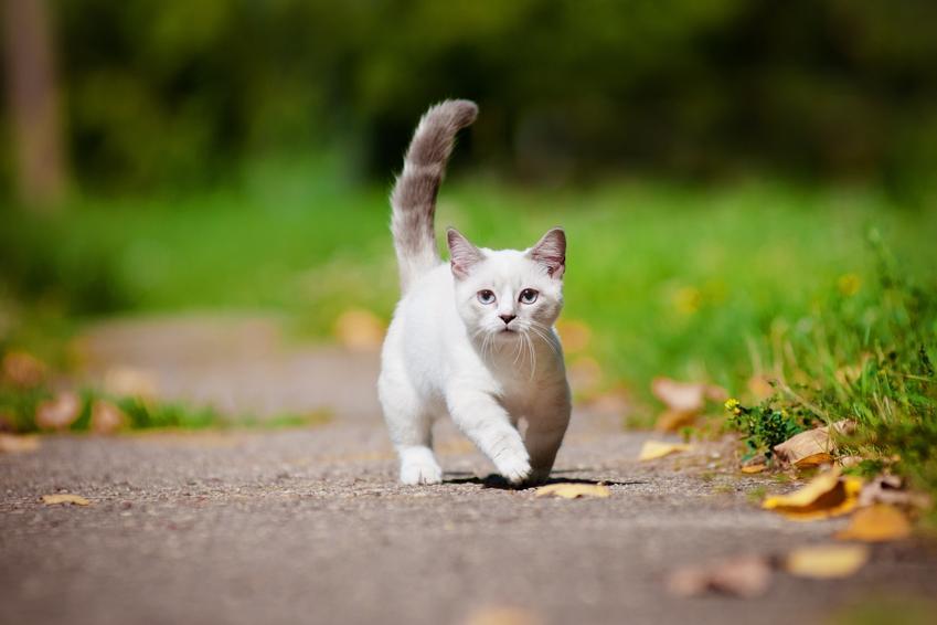 Kot munchkin podczas spaceru na tle zieleni, a także hodowla i cena kota munchkin