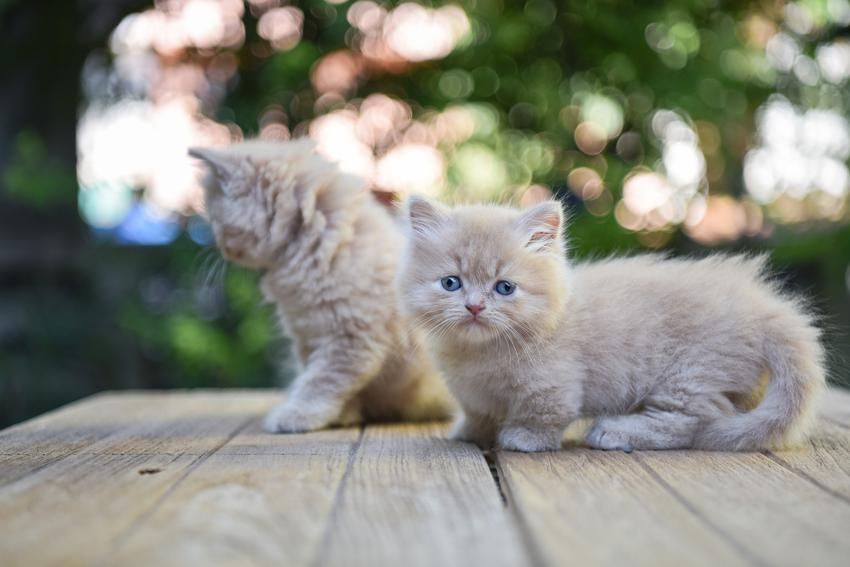 Kocięta rasy muchkin na tle zieleni, a także cena kota munchkin i hodowla kociąt