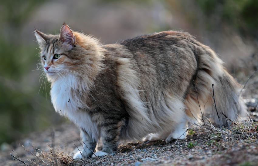 Kot norweski leśny podczas spaceru, a także hodowla kota norweskiego leśnego i cena