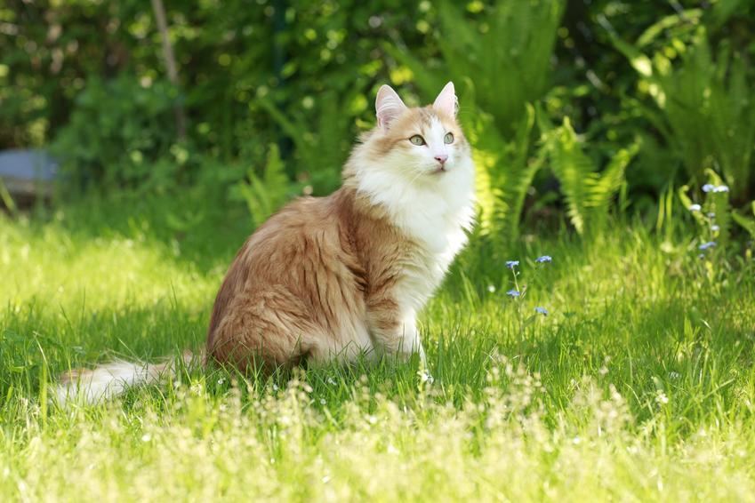 Kot norweski leśny rudy siedzący na trawie, a także jego charakter i cena