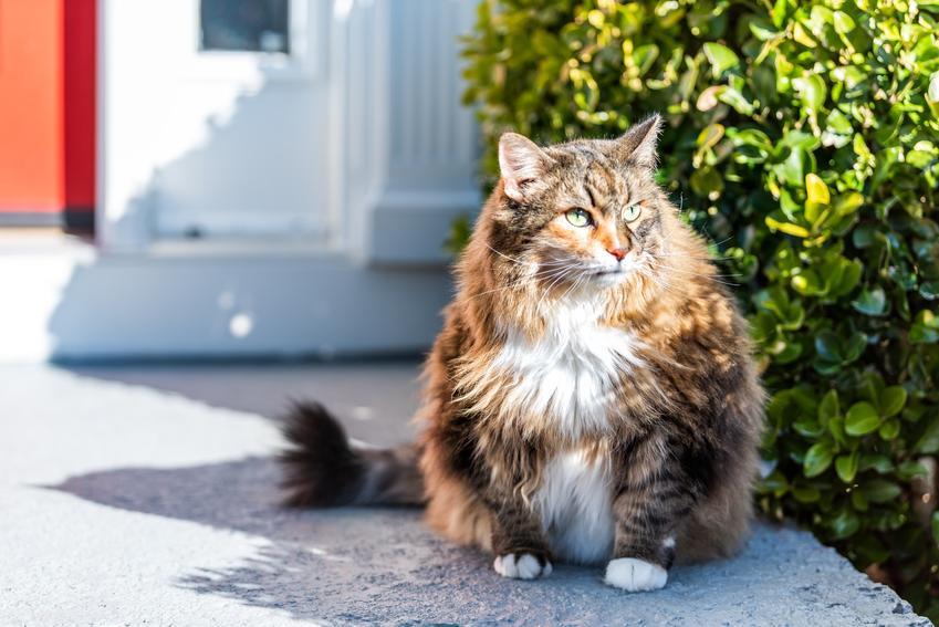 Kot rasy kot norweski leśny rudy siedzący przed domem, a także jego usposobienie i hodowla