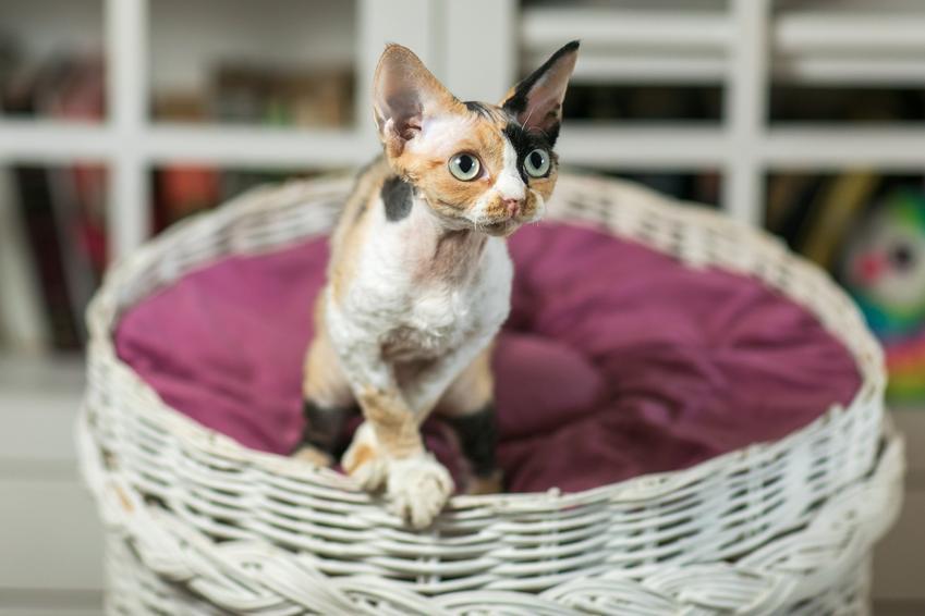 Kot rasy devon rex w koszyku w domu, a także jego charakter, hodowla i cena