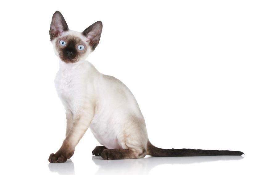 Kot rasy devon rex na białym tle, a także jego charakter, usposobienie, hodowla i cena