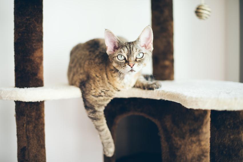 Kot rasy devon rex na drapaku w domu, a także jego charakter, hodowla devon rex i cena
