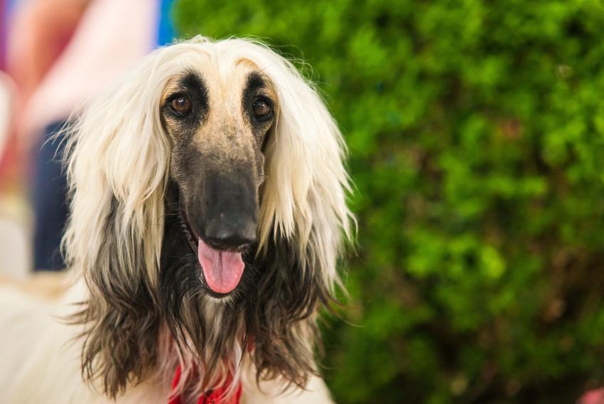Pies chart długowłosy na tle zieleni, a także rasy chartów, hodowla i cena