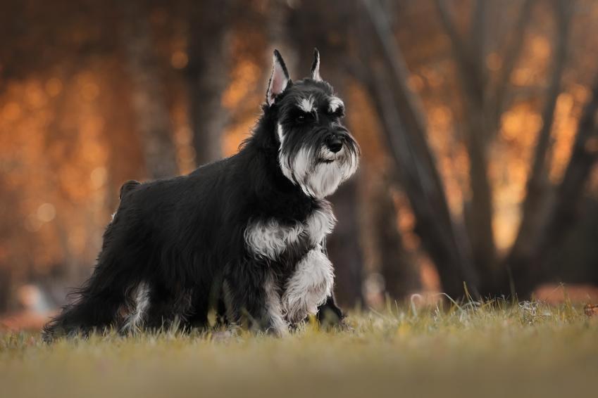 Pies rasy sznaucer miniaturowy podczas spaceru w parku, a także charakter sznaucera