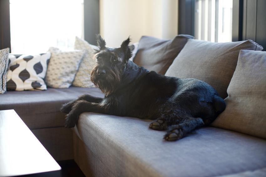 Sznaucer leżący na kanapie w domu, a także opis rasy i charakter sznaucera