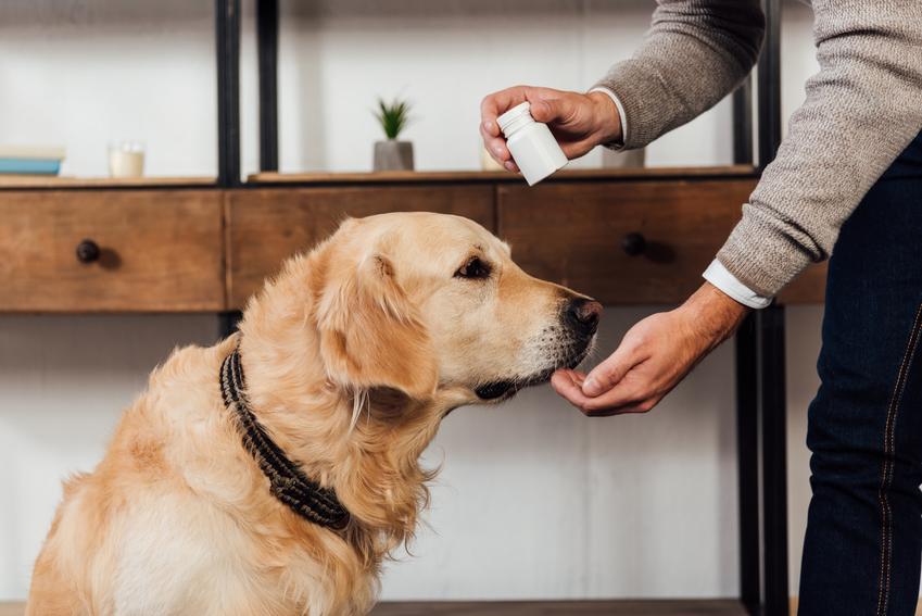 Pies jedzący tabletkę z dłoni, a także wapno dla psa i wapń w diecie psa