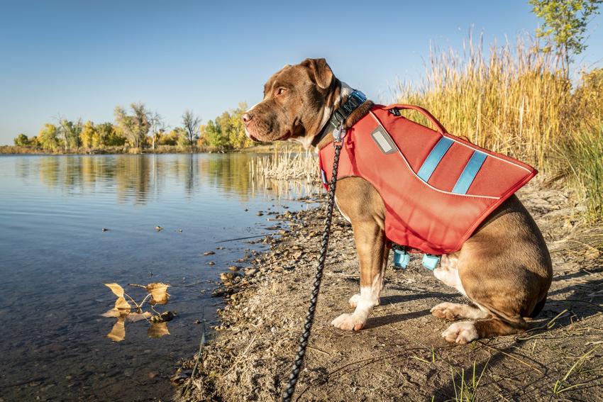 Pies w kapoku nad brzegiem wody oraz kapok dla psa, kamizelka ratunkowa i ceny
