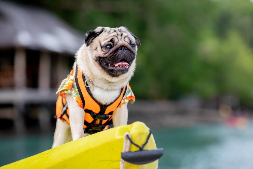 Pies w kapoku oraz polecana kamizelka dla psa do wody i cena