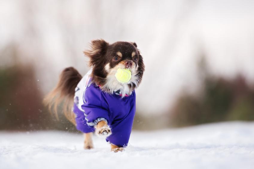 Mały pies w zimowej kurtce na śniegu oraz kurtka zimowa dla psa, kurtki zimowe dla psów