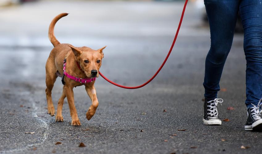 Pies na smyczy podczas spaceru, a także smycze dla psów, ich rodzaje i ceny