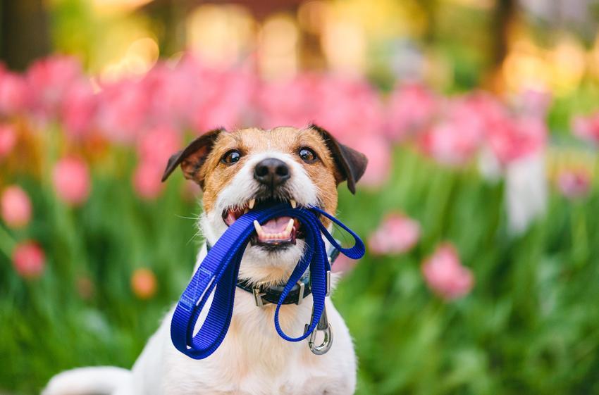 Pies trzymający smycz w pysku na tle kwiatów, a także smycze dla psów, rodzaje i cena