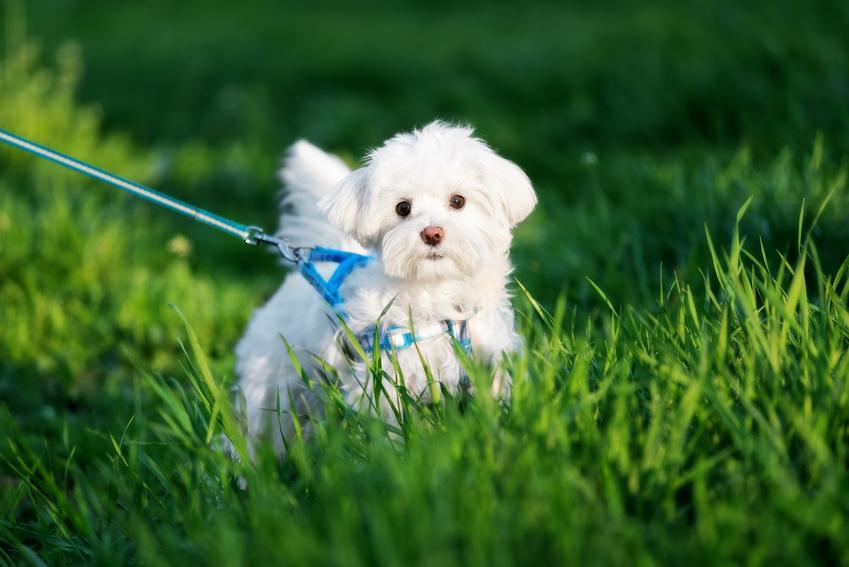 Pies rasy maltańczyk na smyczy na tle trawnika, a także smycz dla maltańczyka, obroża dla maltańczyka