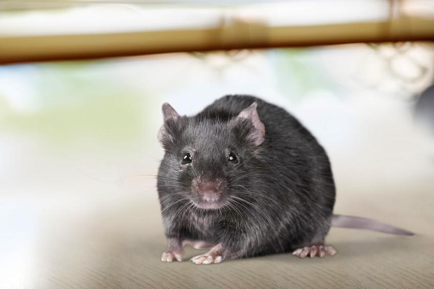 Gryzoń szczur śniady, rattus rattus na podłodze, a także występowanie i sposób na szczury