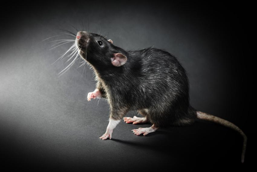 Gryzoń szczur śniady, rattus rattus na czarnym tle, a także występowanie i sposoby