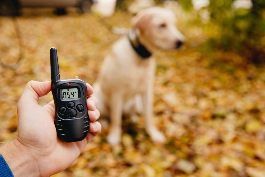 Pies podczas spaceru i sterowanie obroży, a także elektryczna obroża dla psa, porady i cena