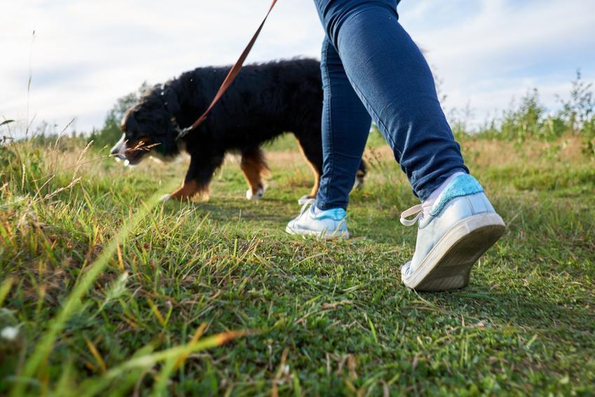 Pies podczas spaceru na smyczy, a także smycz dla dużego psa i smycze dla dużych psów