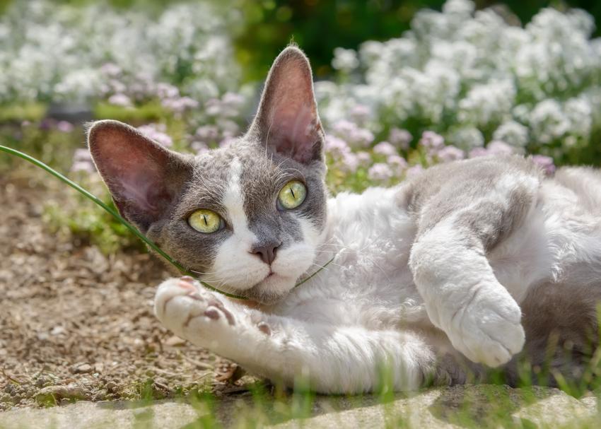 Mały kot devon rex na tle kwiatów, a także cena devon rex i polecana hodowla