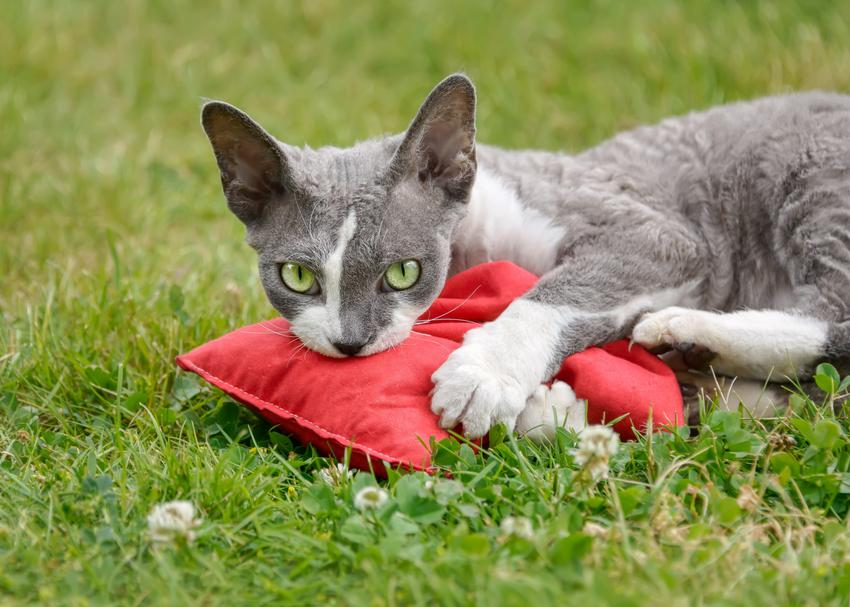Kot rasy devon rex leżący na zielonej trawie, a także charakter devon rex, usposobienie i opis rasy