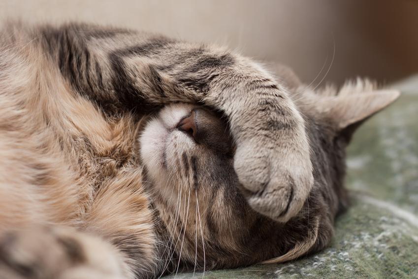Chory kot leżący na łóżku oraz zapalenie trzustki u kota, leczenie i objawy