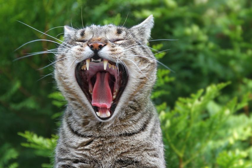 Kot z zębami na wierzchu na tle zieleni, a także przetrwałe zęby mleczne i informacje