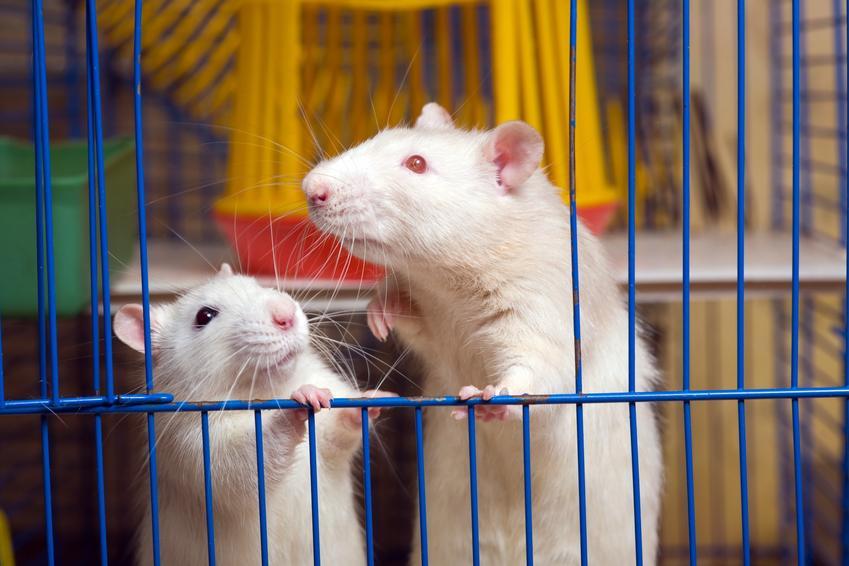Dwa szczury w klatce, czyli szczur domowy, hodowlany, hodowla i cena