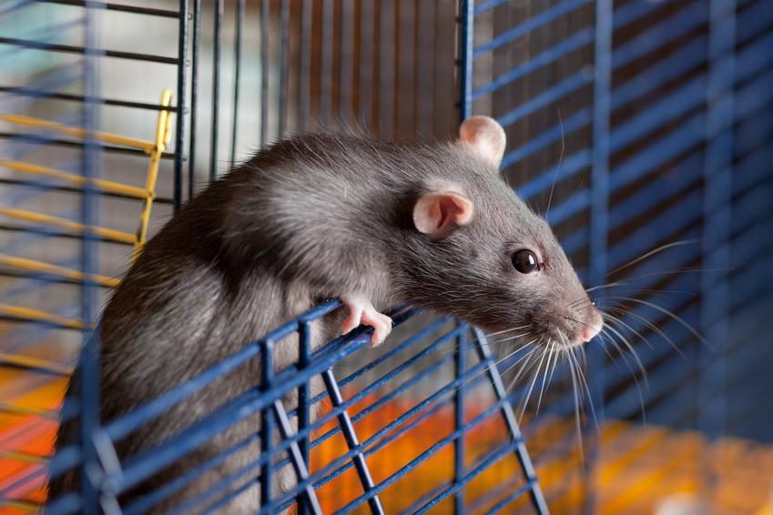 Mały szczur domowy, hodowlany w niebieskiej klatce, a także hodowla i cena