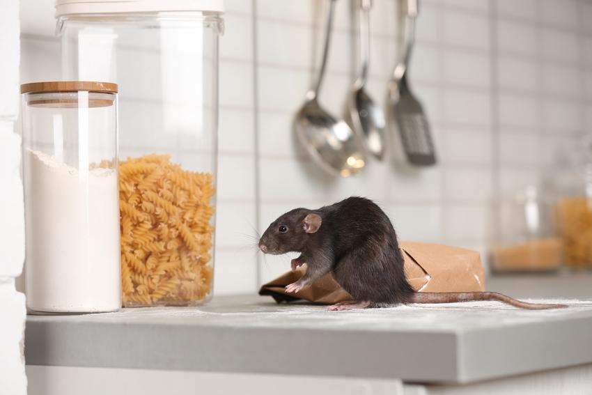 Szczur na blacie w kuchnie, a także zwalczanie szczurów i jak wytępić szczury