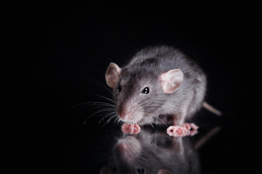 Szary szczur na czarnym tle, a także porady, jak wytępić szczury domowym sposobem