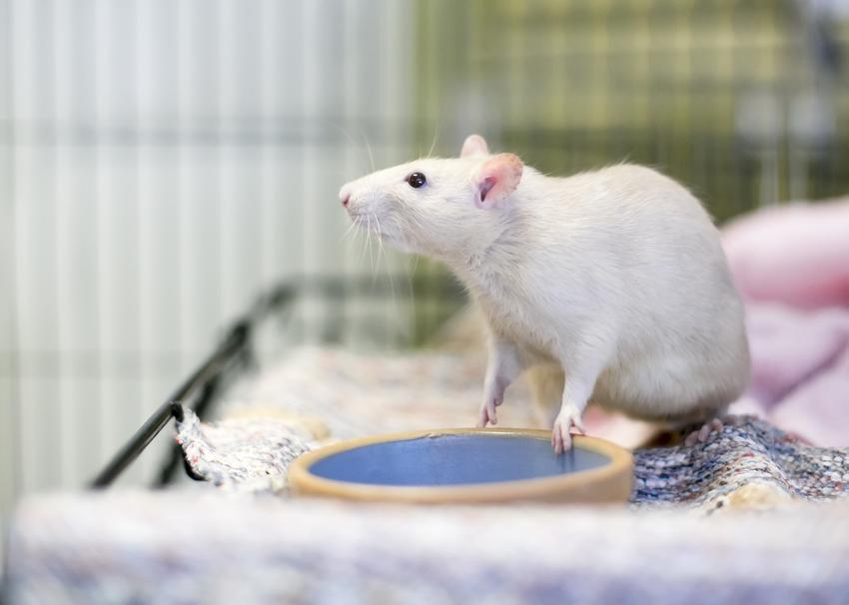 Biały szczur w klatce, czyli szczur domowy, hodowlany, hodowla i cena