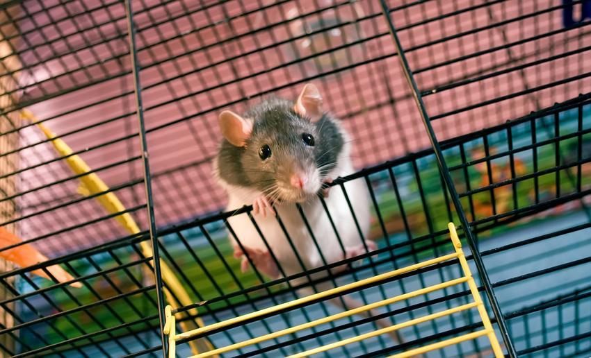 Mały szczur domowy, hodowlany w klatce, a także hodowla i cena