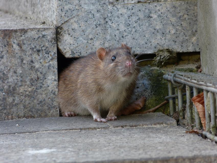 Szczur wędrowny, polny wychodzący z norki, a także porady, rozmnażanie i zwalczanie