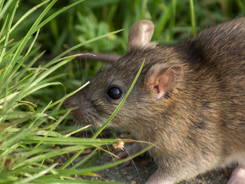 Gryzoń szczur wędrowny, polny na trawie, a także opis, informacje i rozmnażanie