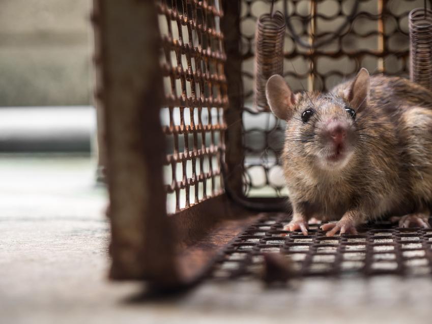 Szczur w klatce pułapce, a także pułapka na szczury, łapka, budowa pułapki