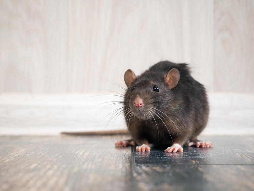 Szczur na podłodze w domu, a także ile żyje szczur i długość życia szczura