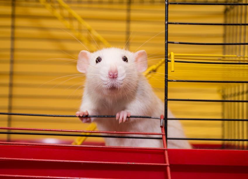 Biały szczur domowy w klatce, a także hodowla szczurów domowych z rodowodem