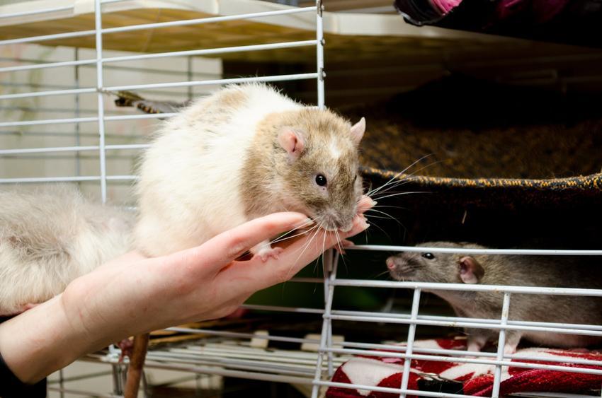 Szczur wkładany do klatki, a także polecana hodowla szczurów domowych i szczury z rodowodem