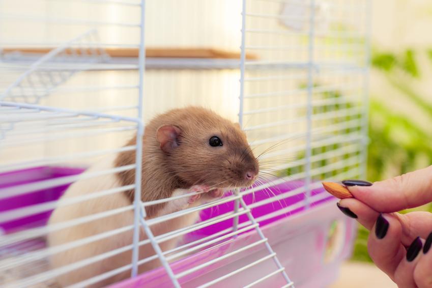Szczur domowy wyglądający z klatki oraz porady, co jedzą szczury, a czego nie jedzą