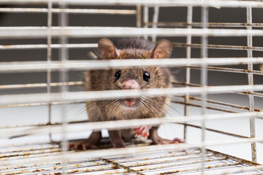 Szczur w klatce, a także rasy szczurów domowych hodowlanych, ich odmiany i gatunki