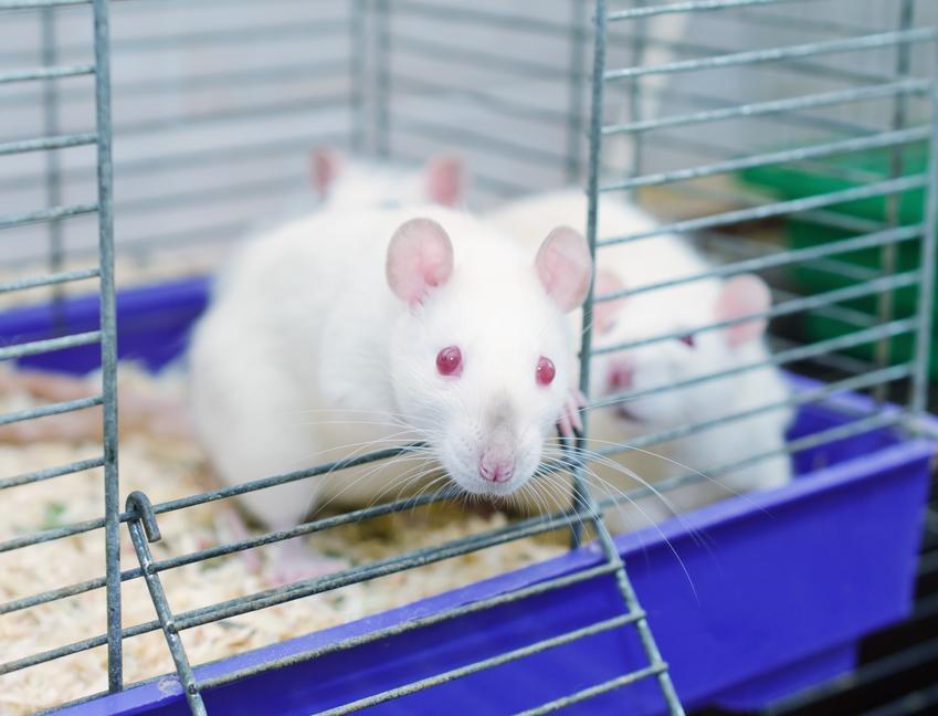 Białe szczury w klatce, a także rasy szczurów domowych hodowlanych, ich odmiany i gatunki