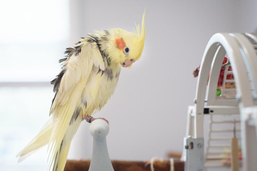 Papuga nimfa na drążku przy klatce, a także jej wychowanie, usposobienie i porady