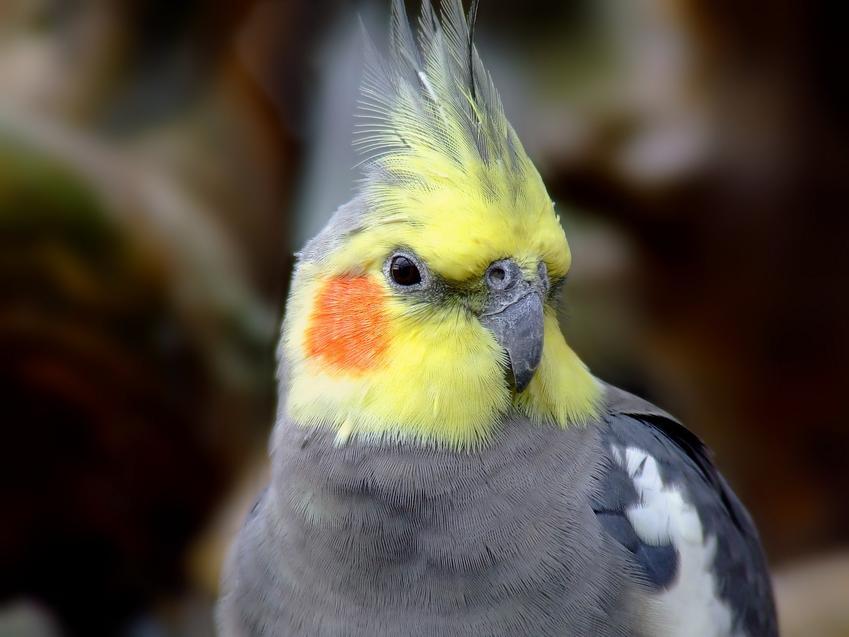 Papuga nimfa na zdjęciu portretowym, a także jej usposobienie, wychowanie i cena